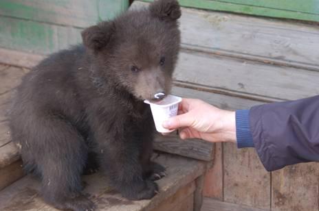 Тихон еще не знает, что он медведь.